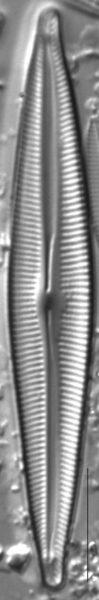 Encyonopsis Montana 3