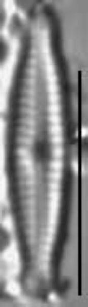 Encyonopsis Moseri4
