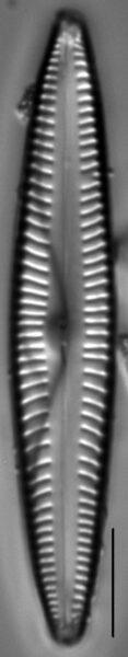 Encyonopsis Stodderi 4