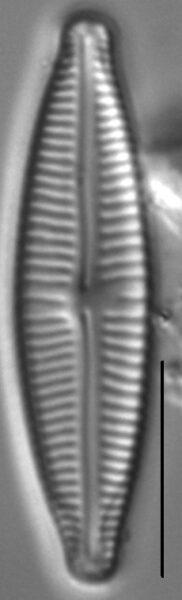 Encyonopsisaequaliformis5