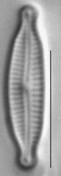 Encyonopsisminuta1