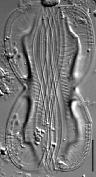 Entomoneis paludosa LM4