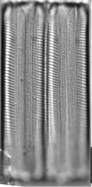Eunotia obliquestriata LM1