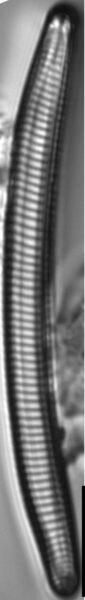 Eunotia obliquestriata LM5