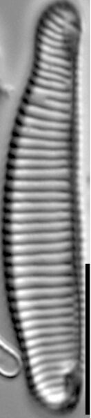 Eunotia apilioforma LM3