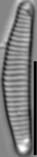 Eunotia rushforthii LM1