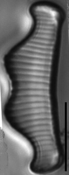 Eunotia subherkiniensis LM3
