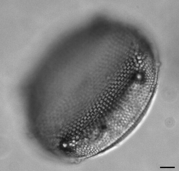 Eupodiscus Radiatus 062 1