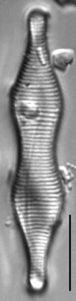 Fragilaria constricta LM6