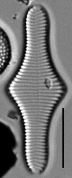 Fragilariforma polygonata LM2
