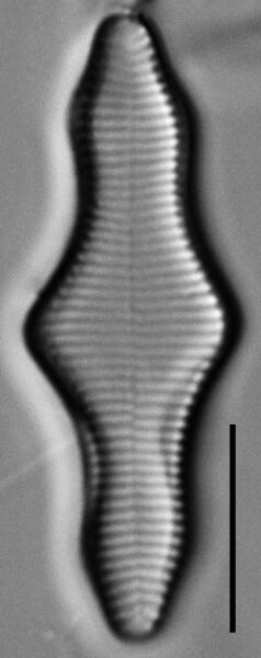Fragilariforma polygonata LM3