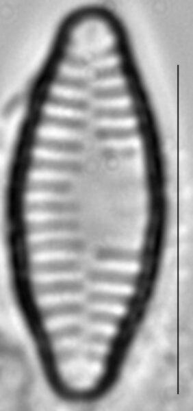 Fragilaria vaucheriae LM1
