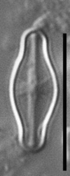 Sellaphora pulchra LM3