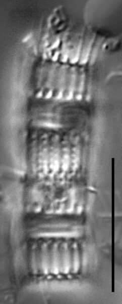 Aulacoseira humilis LM6