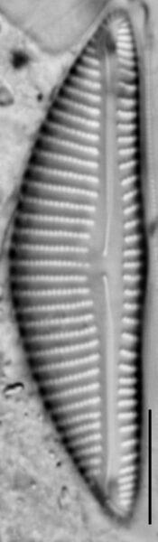 Encyonema minimum var pseudogracilis LM7