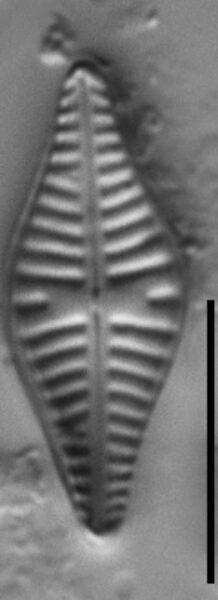 Hippodonta gravistriata LM3