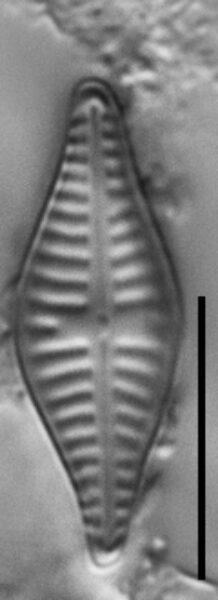 Hippodonta gravistriata LM5