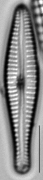 Gomphonema submehleri LM4