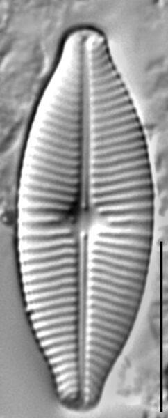 Geissleria lateropunctata LM4