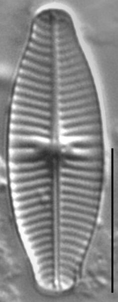 Geissleria punctifera LM1