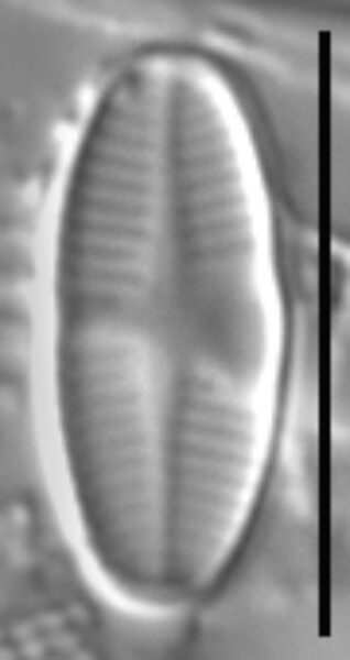 Psammothidium lauenburgianum LM2