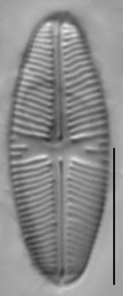 Sellaphora meridionalis LM1