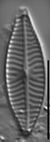 Navicula reichardtiana LM7