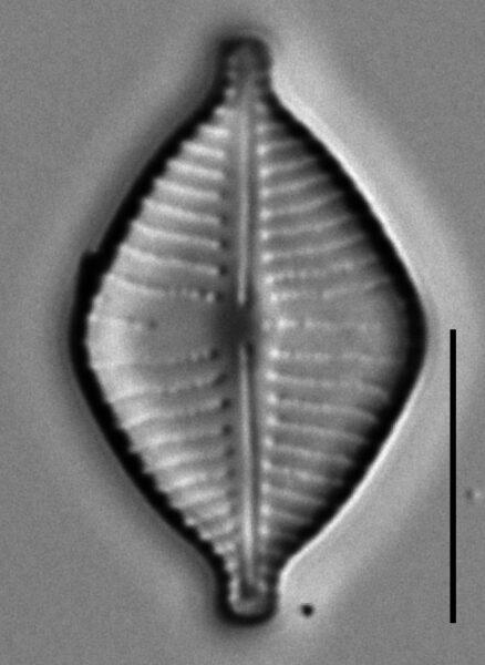 Gomphonema montezumense LM7