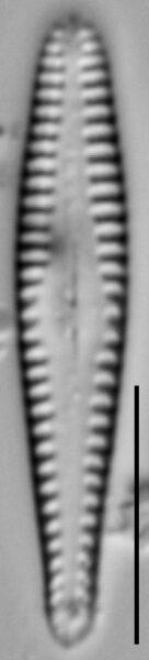 Gomphonema sierranum LM3