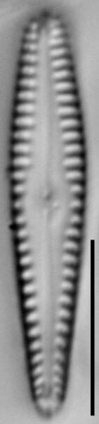 Gomphonema sierranum LM5