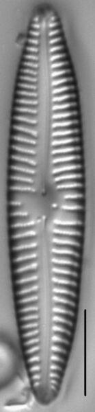 Gomphonema Americobtusatum 2 496601