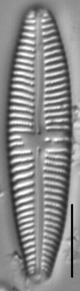 Gomphonema Americobtusatum 3 169801