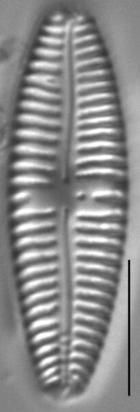 Gomphonema Americobtusatum 4 497901