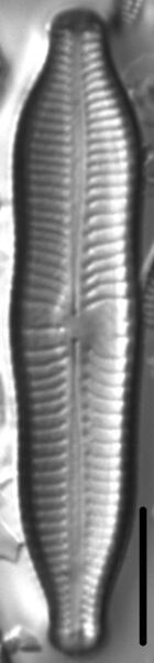 Gomphonema nathorstii LM1