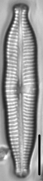 Gomphonema nathorstii LM2