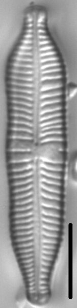 Gomphonema nathorstii LM4