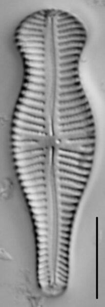 Gomphonema Truncatum 005
