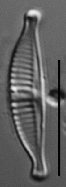 Halamphora subtilis LM10