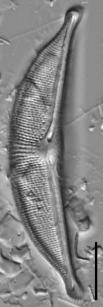 Halamphora elongata LM2