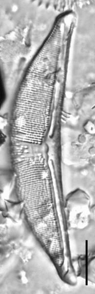 Halamphora elongata LM1