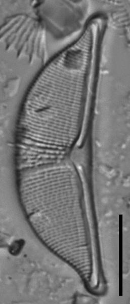 Halamphora elongata LM7
