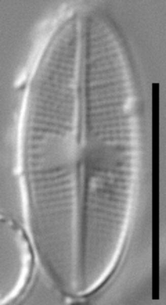 Psammothidium nivale LM5
