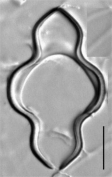 Iwb 0030 1  Tetracyclus Glans 001 Girdle Band Cropped Small