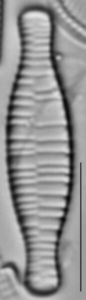 Fragilariforma bicapitata LM4