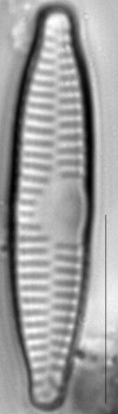 Fragilaria vaucheriae LM4