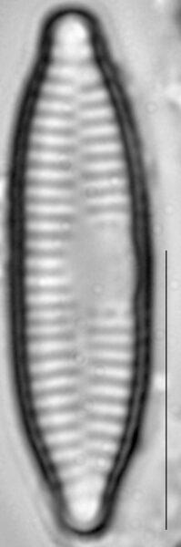 Fragilaria vaucheriae LM3