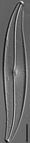 Halamphora latecostata LM7