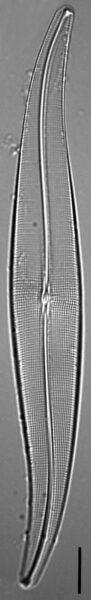 Halamphora latecostata LM1