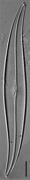 Halamphora latecostata LM6