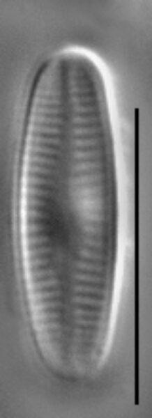 Achnanthidium kranzii LM1